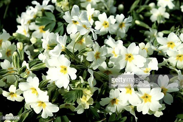 Primrose Blooming In Garden