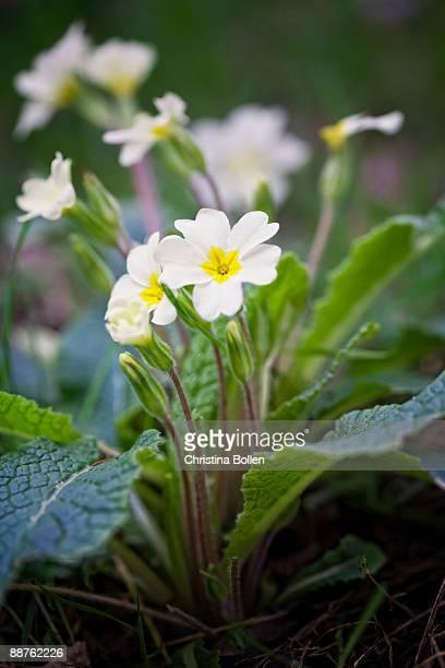 primrose (primula vulgaris) in woodland, yorkshire april 2008 - hermaphrodite stock-fotos und bilder
