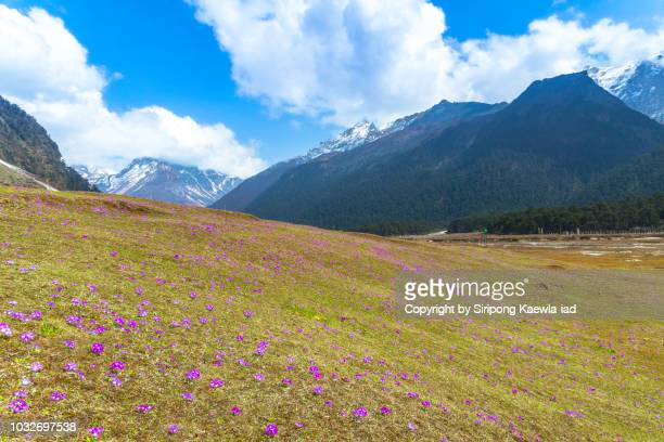 primula denticulata primrose flowers on the meadow at the yumthang valley, north sikkim, india. - grass area stock pictures, royalty-free photos & images