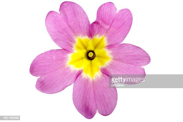 Primula Flower Isolated On White