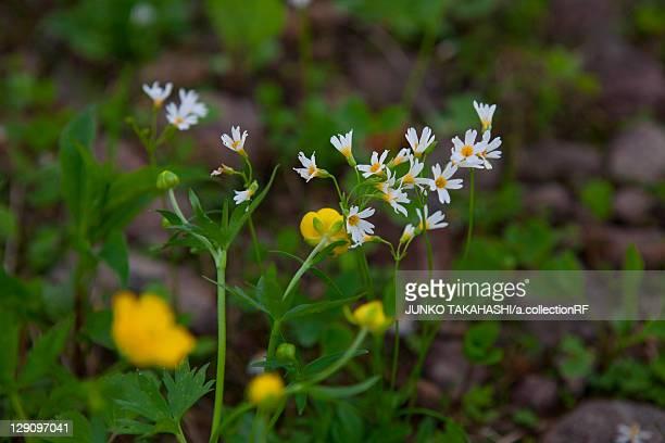 primula flowers - 八幡平市 ストックフォトと画像