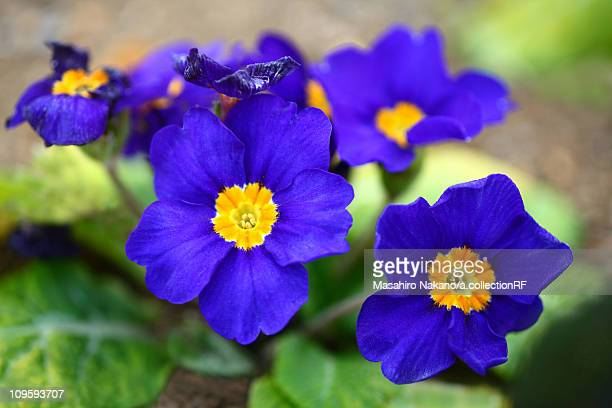 primula polyantha flowers - chofu stock pictures, royalty-free photos & images