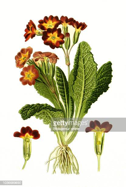 Primula variabilis Polyanthus cowslip common cowslip cowslip primrose hybr SchlŸsselblume Hybride digital improved reproduction from a print of the...