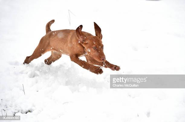 Prince a Hungarian wire haired Vizsla plays in the snow on January 17 2018 in Belfast Northern Ireland The Met Office has placed an amber weather...