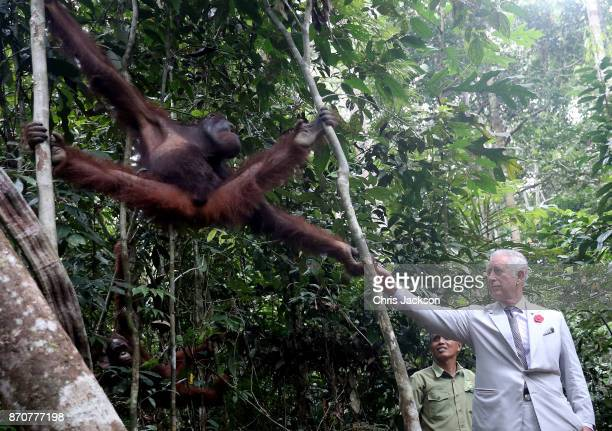 Prince Charles Prince of Wales feeds an orangutan during a visit to Semenggoh Wildlife Centre a rehabilitation centre for orangutans found injured in...