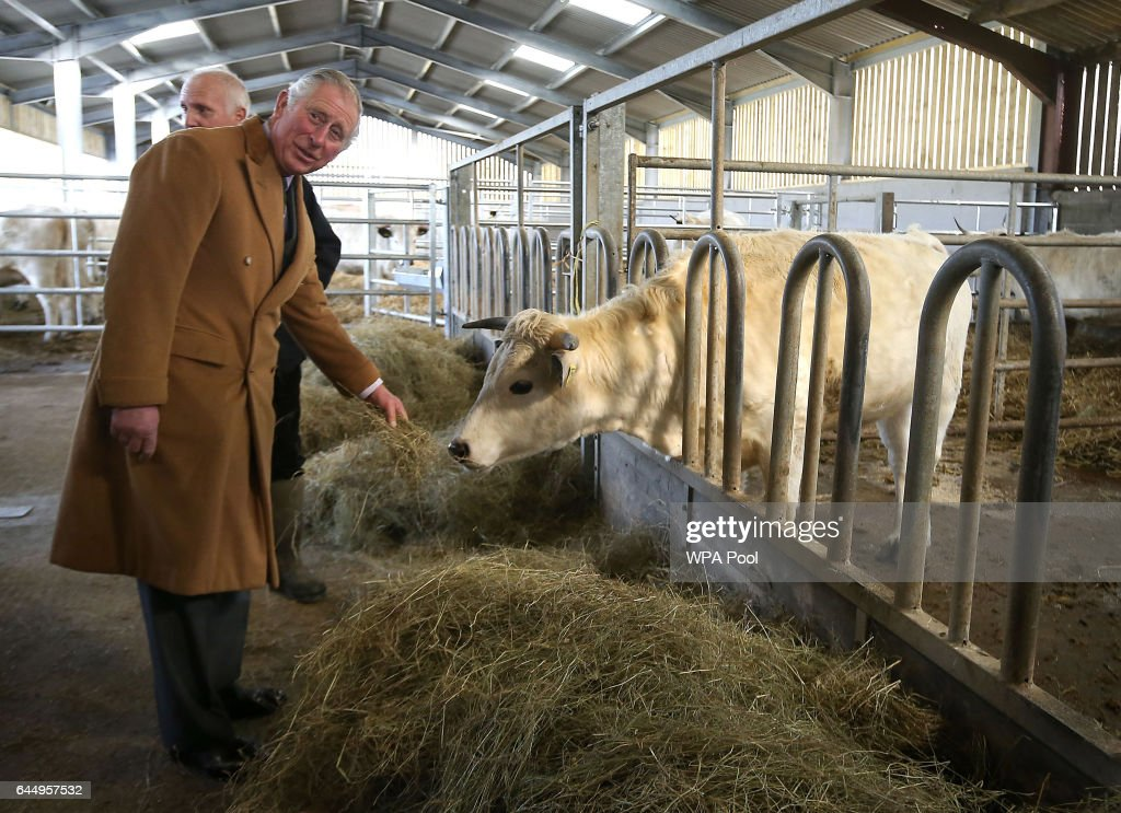 Prince Charles, Prince of Wales feeds White Park Cattle and learns about efforts to save the breed from extinction on a visit to Dinefwr Parkon February 24, 2017 in Cwmbran, United Kingdom.
