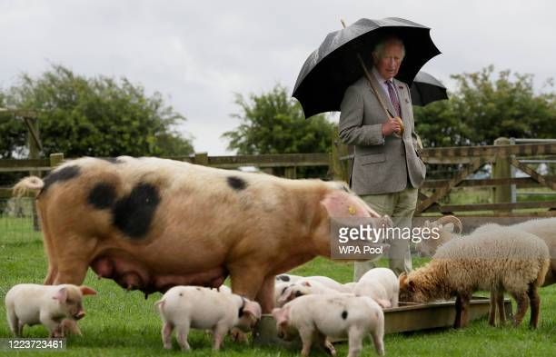 Prince Charles Prince of Wales patron of the Rare Breeds Survival Trust looks at a Gloucestershire Old Spot pig with her piglets during a visit to...