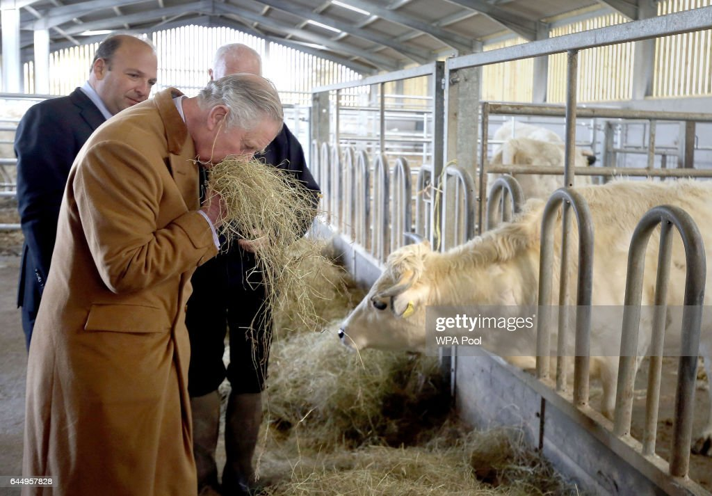 Prince Charles, Prince of Wales smells hay before feeding White Park Cattle and learning about efforts to save the breed from extinction on a visit to Dinefwr Park on February 24, 2017 in Cwmbran, United Kingdom.