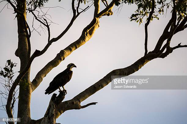 The silhouette of an Eastern Osprey roosting in a tree at sunset.