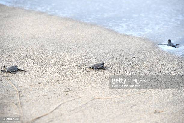 Prince Harry helps a baby turtle to the sea as he visits the Nevis turtle conservation project on Lover's Beach on the fourth day of an official...
