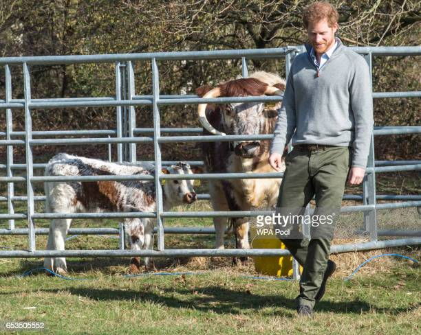 Prince Harry is introduced to 'Lucky' the English Longhorn cow and calf 'Ragamuffin' during a visit to Epping Forest to view the Wood Pasture...