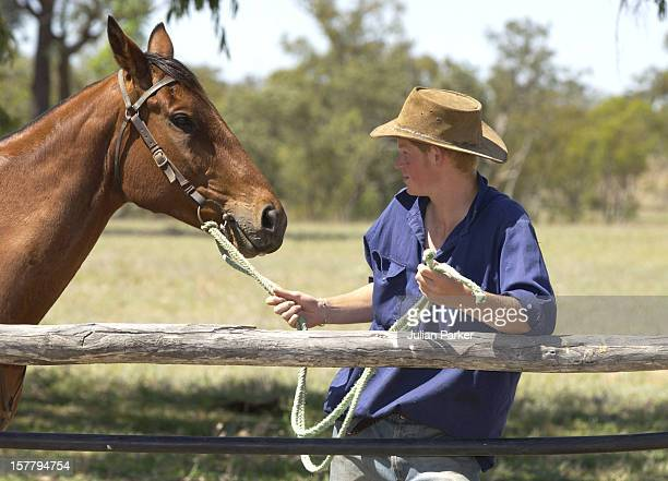 Prince Harry Working As A Jackaroo At Tooloombilla, Queensland, Where He Rode With A Team Mustering Herd Bulls.