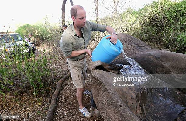 """Prince William, Duke of Cambridge, Royal Patron of Tusk and President of United For Wildlife cools the body of """"Matt"""", a huge tranquilised bull..."""