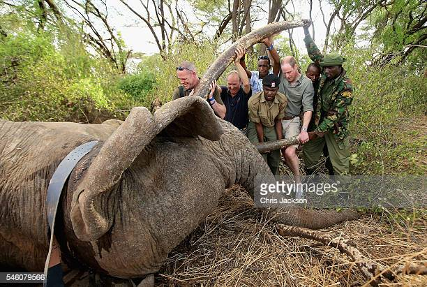 Prince William Duke of Cambridge Royal Patron of Tusk and President of United For Wildlife assists rangers in northern Kenya to move 'Matt' a...