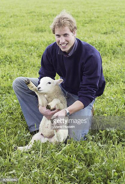 HRH Prince William handles a sheep at Duchy Home Farm as part of his ongoing interest in farming and his father's estate on May 29 2004 in Tetbury...