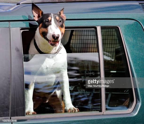 Princess Anne, Princess Royal's bull terrier dog seen in Princess Anne's Land Rover Discovery at the Whatley Manor Horse Trials at Gatcombe Park on...