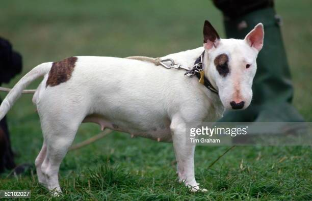 Princess Anne's Pet Bull Terrier Bitch Eglantine At Gatcombe Park Horse Trials In Gloucestershire