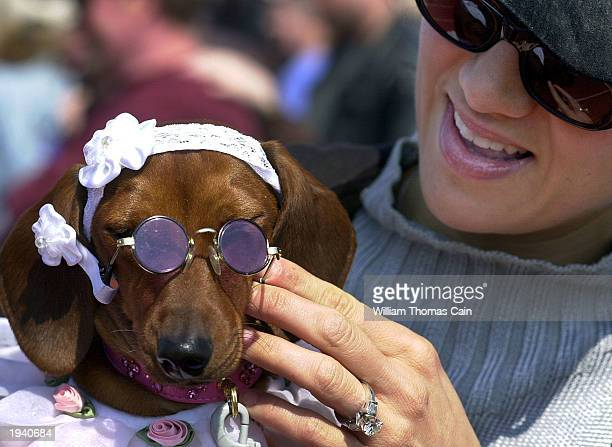 Princess Bella Cimino a dachshund has her sunglasses placed on her face by her owner Andrea Cimino of Ocean City New Jersey while they attend the...