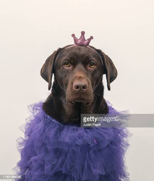 princess doggy - dress stock pictures, royalty-free photos & images