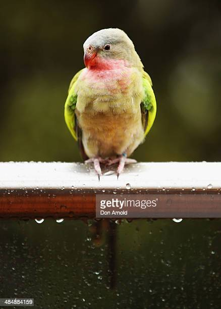 A princess parrot poses at the EMU Australia Celebrity Children's event at Sydney Wild Life Zoo on April 15 2014 in Sydney Australia