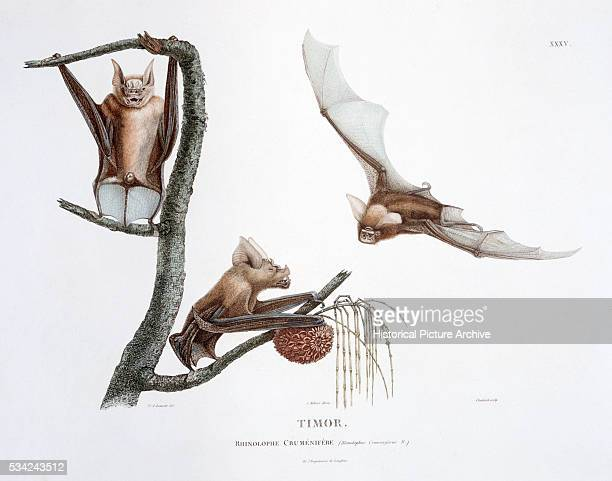 Print Depicting Horseshoe Bats From Timor