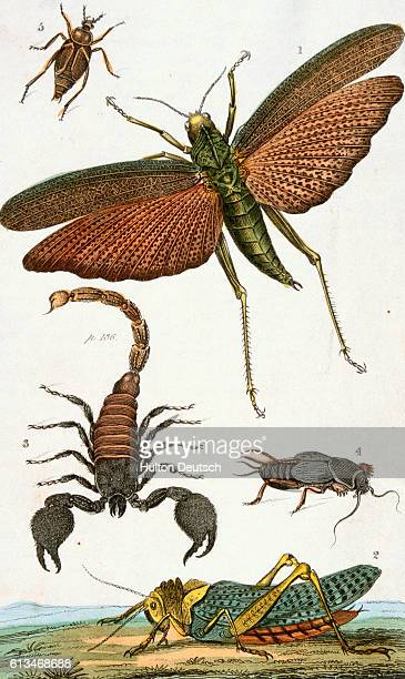 Print Depicting Locusts Crickets and a Scorpion by T Dixon