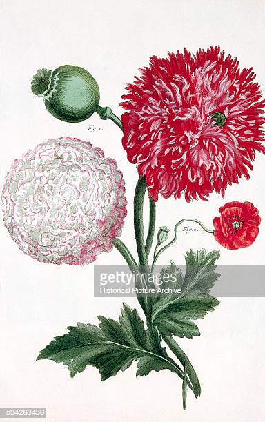 Print of an opium poppy Papaver somniferum, and the common poppy Papaver rhoeas .