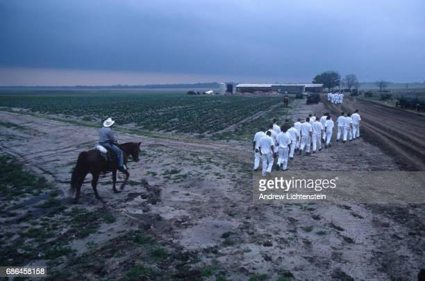 Prisoners work the fields of the the Texas Department of Criminal Justice's Ferguson Unit on January 15 1995along the Trinity River in Madison County...