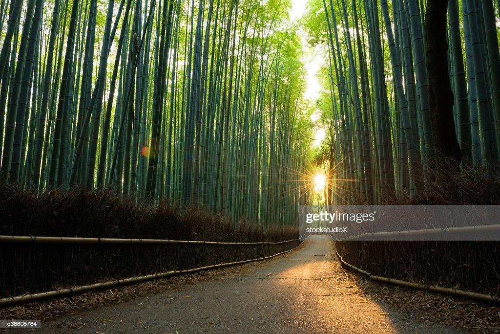 美しい竹林の日の出 : ストックフォト