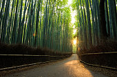 Pristine bamboo forest at sunrise