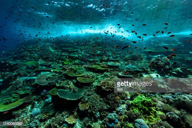 pristine hard coral reef, anthias paradise, komodo national park, indonesia - at the bottom of stock pictures, royalty-free photos & images