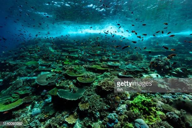 priestine hard coral reef, anthias paradise, komodo nationalpark, indonesien - unterer teil stock-fotos und bilder