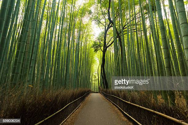 Pristine natural bamboo forest