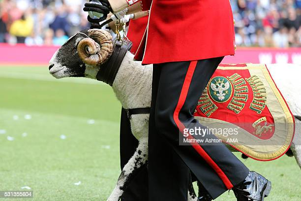 Private Derby XXXI a Swaledale Ram chosen by the Duke of Devonshire from his flock at Chatsworth Estate in Derbyshire based at RHQ Mercian, Lichfield...