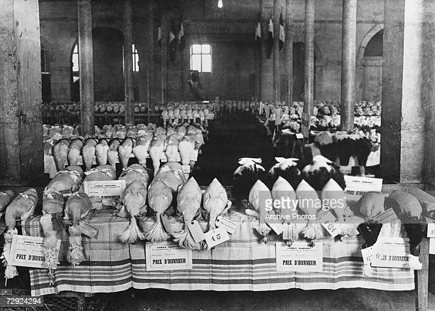 Prize winning chickens on display in a hall in Bourg en Bresse, France, circa 1925.