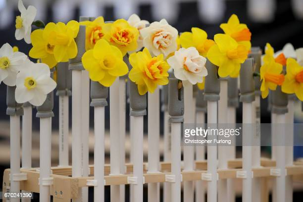 Prized and fragile daffodils are protected by plastic pipes at the end of their transportation to the Harrogate Spring Flower Show at the Great...