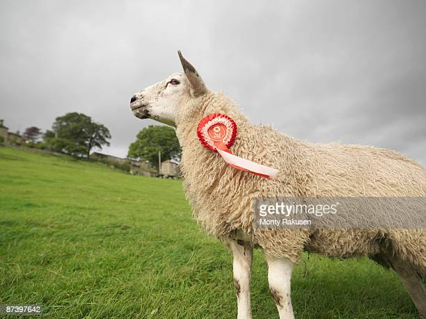 Prize-Winning Sheep With Rosette