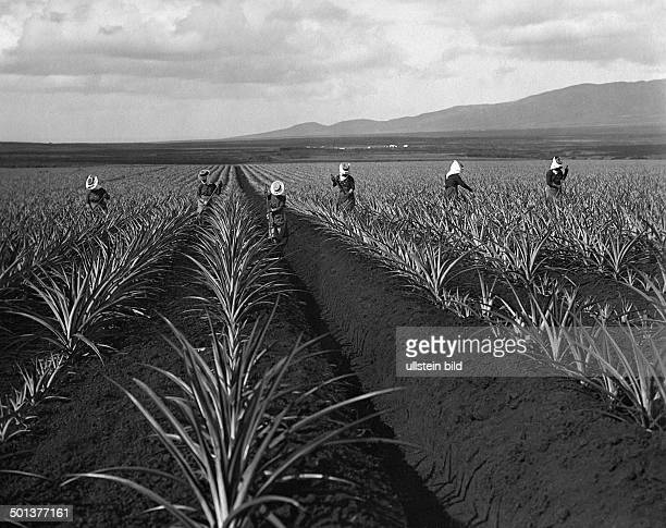 Pineapple plantation farmers earthing up the plants undated probably around 1910 Photographer FranzOttoKoch