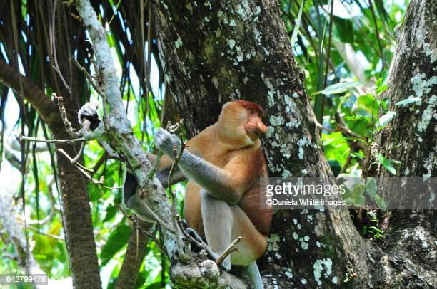 proboscis monkey, bako national park,  borneo, malaysia - bako national park stock pictures, royalty-free photos & images