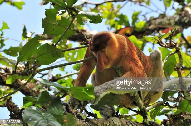 proboscis monkey, bako national park,  borneo, malaysia - ugly monkey stock photos and pictures