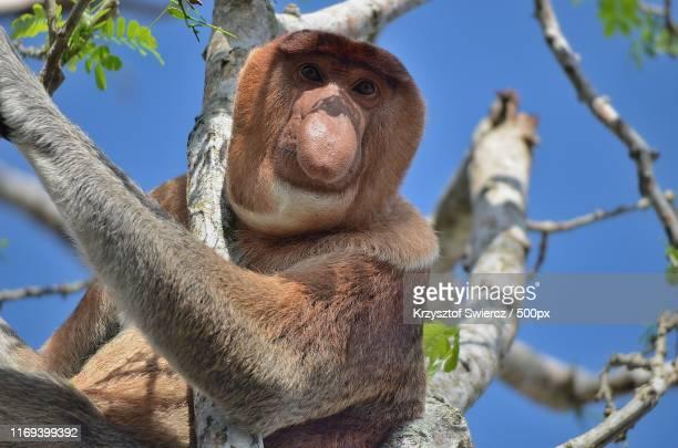 proboscis monkey - bako national park - borneo - bako national park stock pictures, royalty-free photos & images