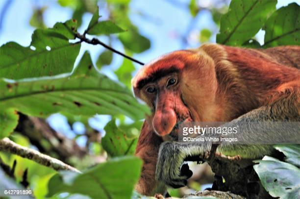 proboscis monkey, bako national park, kuching, borneo , malaysia - ugly monkey stock photos and pictures
