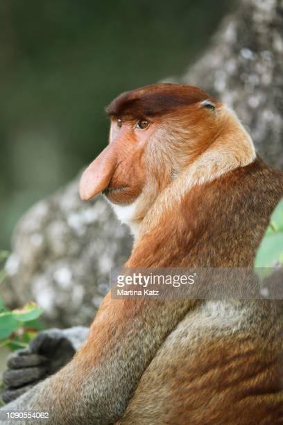 proboscis monkey (nasalis larvatus), bako national park, sarawak, borneo, malaysia - bako national park stock pictures, royalty-free photos & images