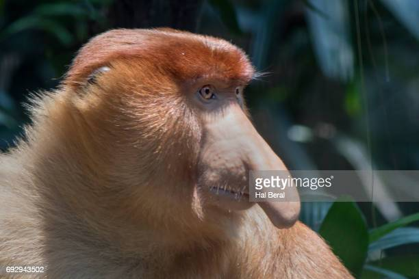 proboscis monkey close-up - big nose stock photos and pictures