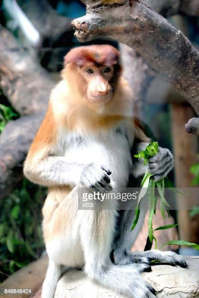 A proboscis monkey makes debut at Chimelong Safari Park on September 13 2017 in Guangzhou Guangdong Province of China China imported 6 longnosed...