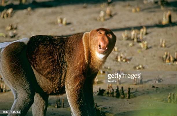 Proboscis monkey male Bako National Park Sarawak Malaysia Date