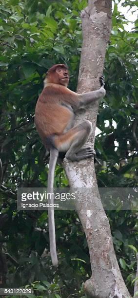 proboscis monkey near bandar seri begawan - bandar seri begawan stock pictures, royalty-free photos & images