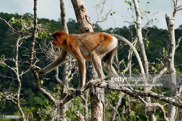proboscis monkey - bako national park stock pictures, royalty-free photos & images
