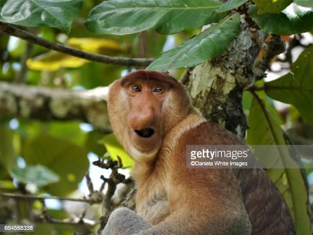 proboscis monkey - ugly monkey stock photos and pictures
