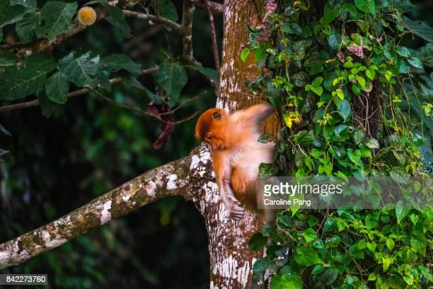 Proboscis Monkey.
